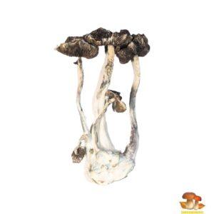 Buy Albino A+ Magic Mushrooms Online